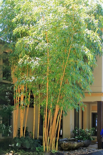 Robert Young Golden Bamboo - Phyllostachys viridis 'Robert Young' - 3 Gallon Pot