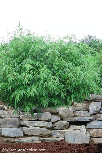 Dragons Head Bamboo - Fargesia dracocephala 'Rufa' - 1 Gallon Pot