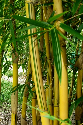 Buy Live Bamboo Plants That Will Grow In USDA Zone 9