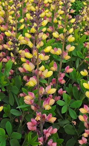 Pink Lemonade Baptisia (False Indigo) - 1 Gallon Pot