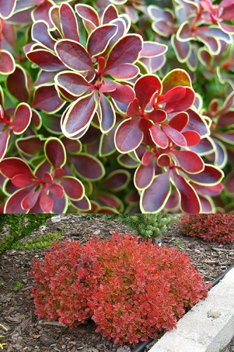Admiration Barberry - 1 Gallon