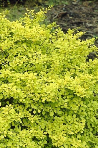 Golden Dwarf Barberry