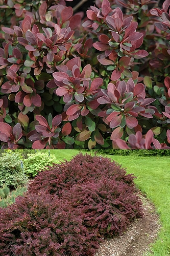 Royal Burgundy Dwarf Barberry