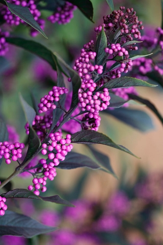 Pearl Glam Beautyberry - Callicarpa - 1 Gallon Pot