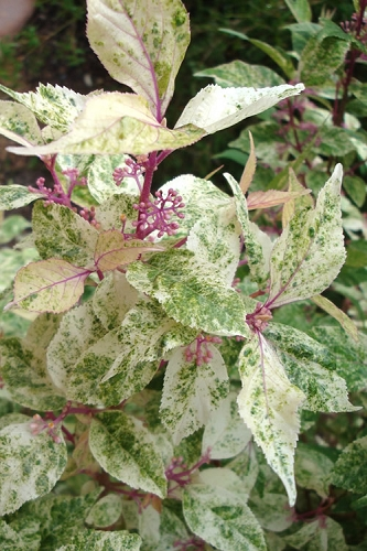 Wine Spritzer Variegated Beautyberry - Callicarpa dichotoma 'Shiji Murasaki' - 3 Gallon Pot