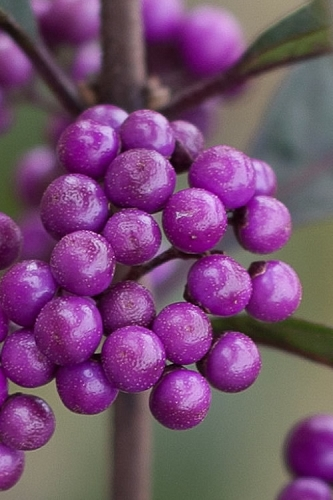 Purple Pearls Beautyberry - Callicarpa - 3 Gallon Pot
