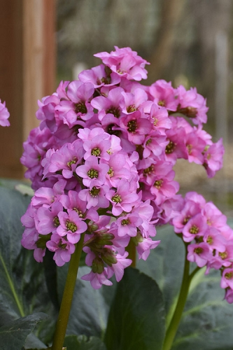 Miss Piggy Pigsqueak (Bergenia)  - 1 Gallon Pot