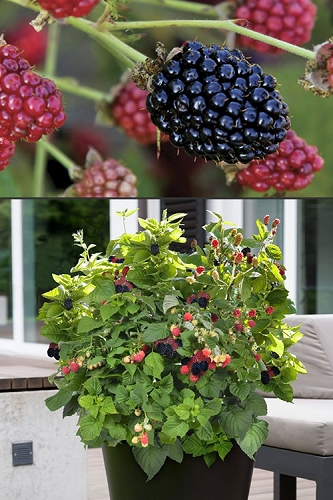 Bushel and Berry 'Baby Cakes' Blackberry