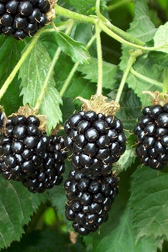 Triple Crown Thornless Blackberry Plant - 1 Gallon Pot