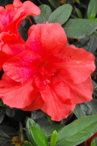 Fireglow Bloom 'N Again Azalea