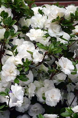 Snowball Bloom 'N Again Azalea - 1 Gallon Pot