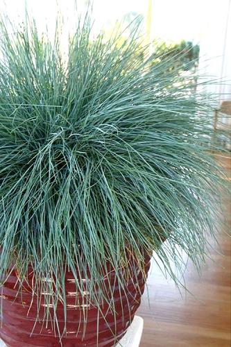 Beyond Blue Festuca (Fescue) - 1 Gallon Pot