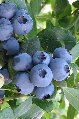 Bless Your Heart Rabbiteye Blueberry - 2.5 Quart Pot