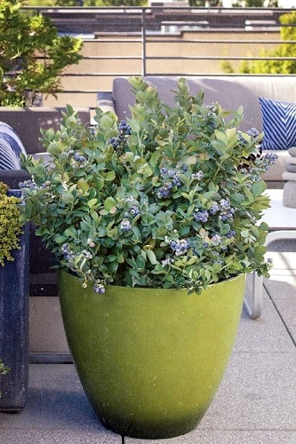 Bushel and Berry 'Peach Sorbet' Blueberry