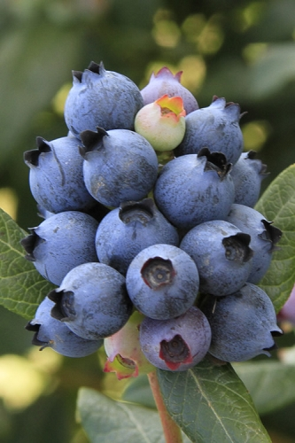 Bushel and Berry 'Perpetua' Blueberry