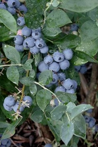 Alapaha Rabbiteye Blueberry