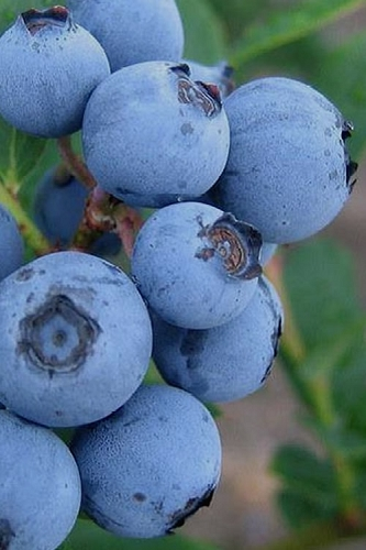 Alice Blue Rabbiteye Blueberry - 1 Gallon Pot