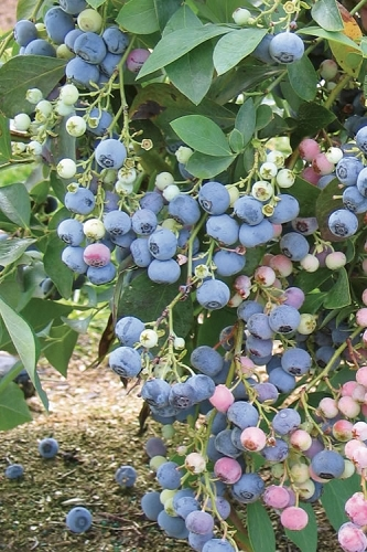 Ochlockonee Rabbiteye Blueberry - 3 Gallon Pot