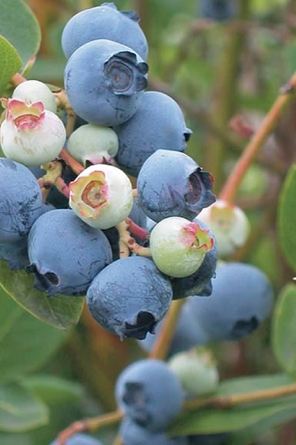 Powderblue Rabbiteye Blueberry - 1 Gallon Pot