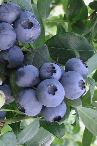 Southland Rabbiteye Blueberry