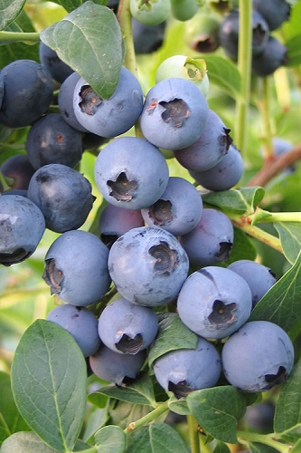 Blue Suede Southern Highbush Blueberry