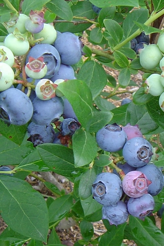 Suziblue Southern Highbush Blueberry - 2 Gallon Pot