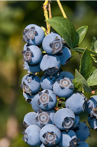 Star Southern Highbush Blueberry - 1 Gallon Pot