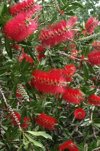 Scarlet Compacta Bottlebrush - Callistemon - 3 Gallon Pot