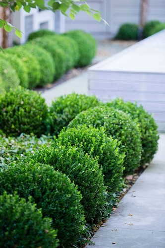 Buy Golden Dream Boxwood For Sale Online From Wilson Bros