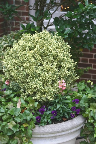 Dwarf Variegated Boxwood - 1 Gallon Pot