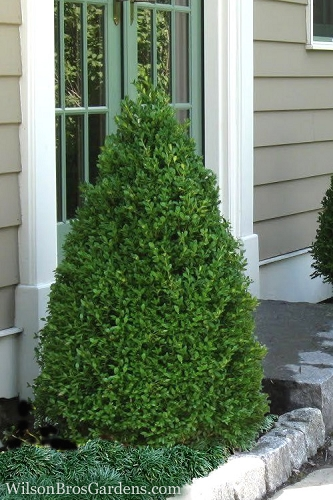 Green Mountain Boxwood - 1 Gallon Pot