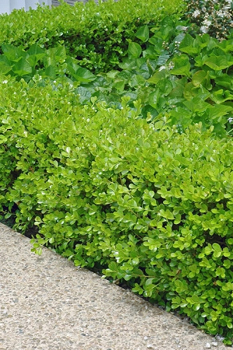 Japanese Boxwood - Buxus microphylla - 3 Gallon Pot