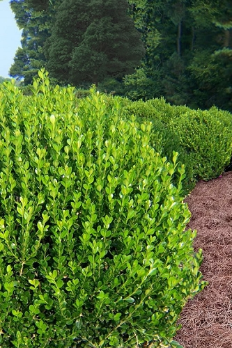 Wintergreen Boxwood - 1 Gallon Pot