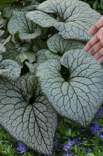 Queen of Hearts Heartleaf Brunnera - 1 Gallon Pot