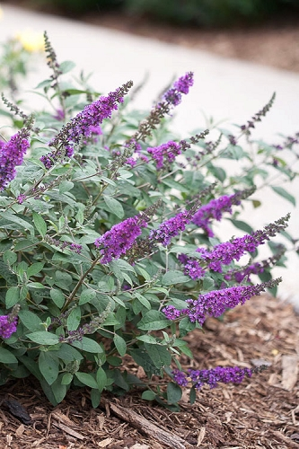 Lo & Behold Blue Chip Junior Butterfly Bush - 3 Gallon Pot