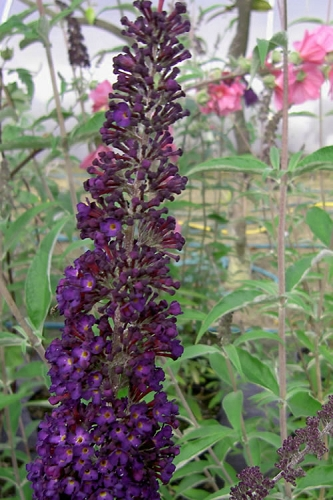 Black Knight Butterfly Bush - 3 Gallon Pot