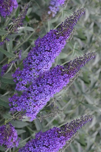 Monarch Blue Knight Butterfly Bush - Buddleia - 2.5 Quart Pot