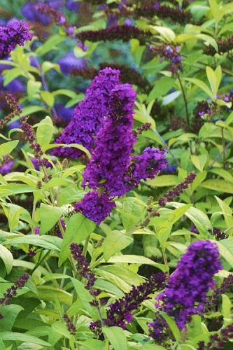 Monarch Crown Jewels Butterfly Bush - Buddleia - 2.5 Quart Pot