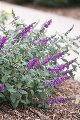 Lo & Behold Blue Chip Junior Butterfly Bush