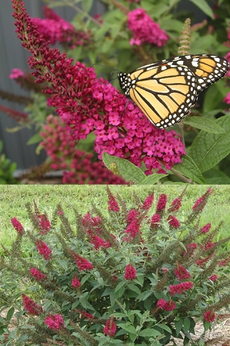 Miss Molly Butterfly Bush - Buddleia