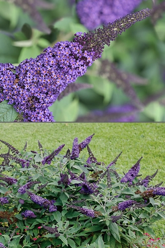 Pugster Blue Butterfly Bush - Buddleia