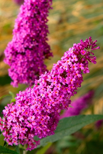 Royal Red Butterfly Bush - Buddleia