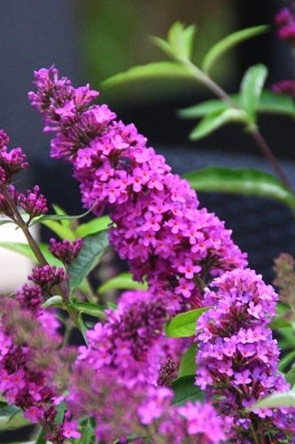 Buddleia Flutterby Petite Tutti Fruitti Dwarf Butterfly Bush - 3 Gallon Pot