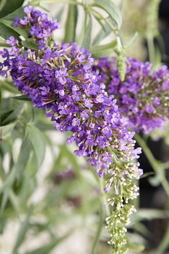 Ultra Violet  Buddleia - Dwarf Butterfly Bush