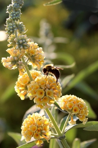 Honeycomb Yellow Butterfly Bush - Quart Pot