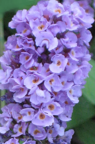 Buddleia Flutterby Petite Blue Heaven Dwarf Butterfly Bush - 3 Gallon Pot