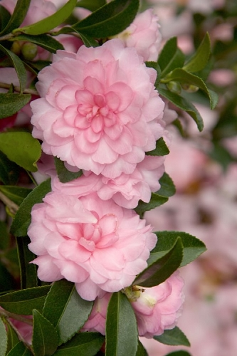 October Magic Pink Perplexion Camellia - 3 Gallon Pot