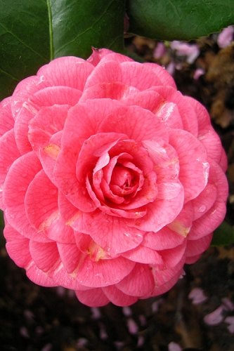 April Rose Cold Hardy Pink Camellia Japonica - 3 Gallon Pot