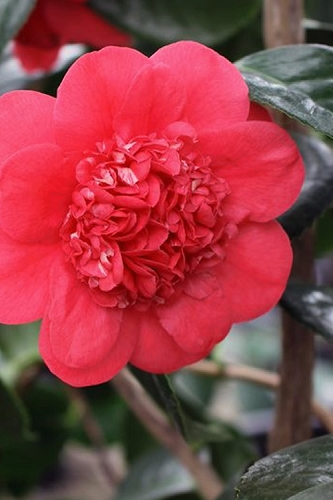April Tryst Camellia Japonica