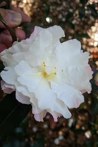 Autumn Delight Camellia Sasanqua - 3 Gallon